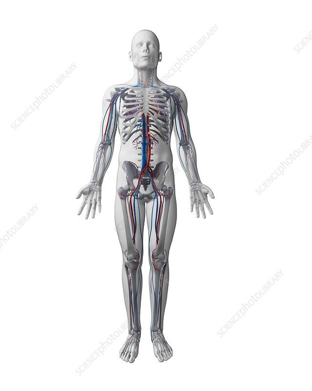 Human vascular system, illustration