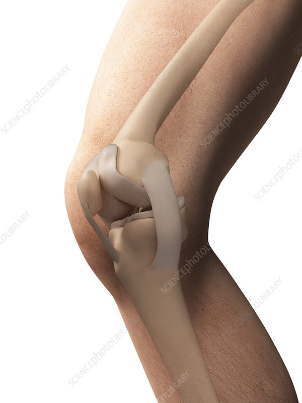 3d knee anatomy