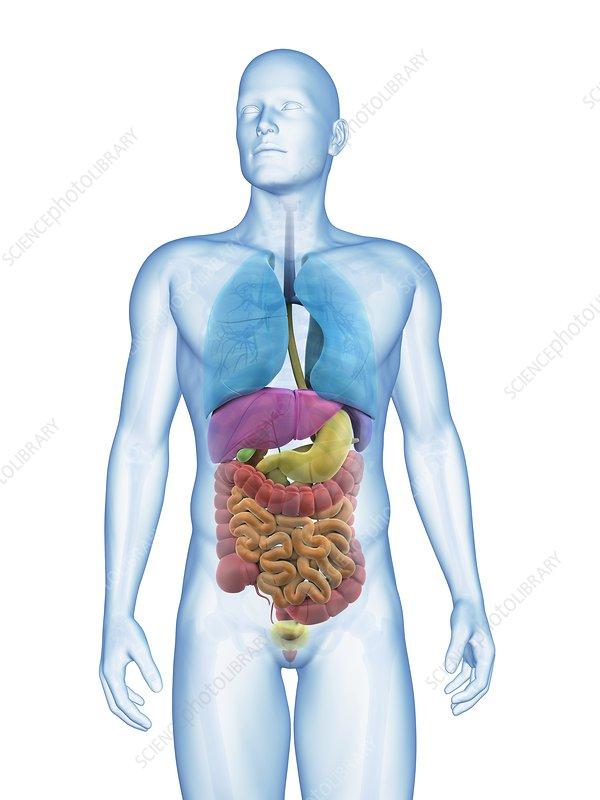 Human digestive system, illustration