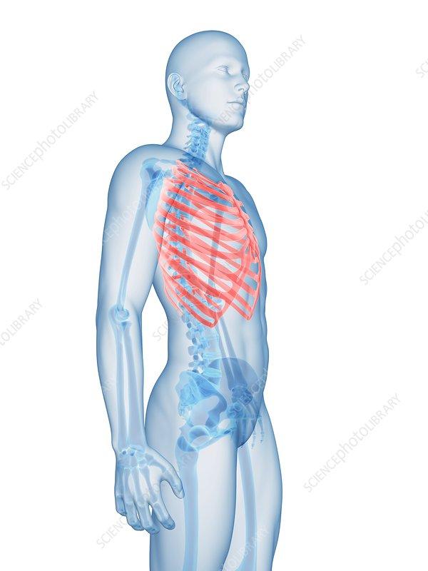 Human ribcage, illustration