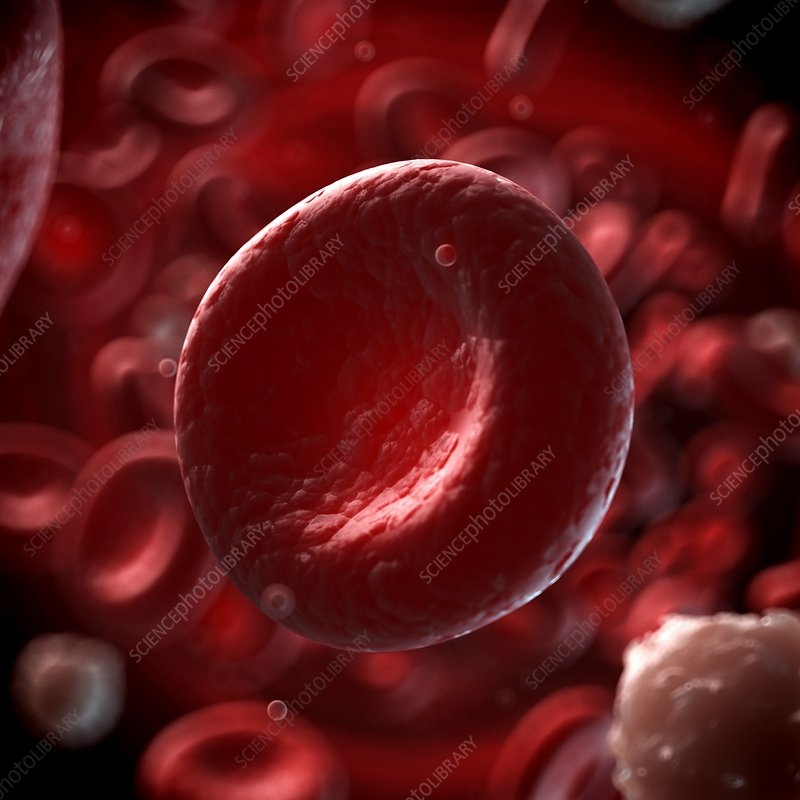 Human red blood cell, illustration