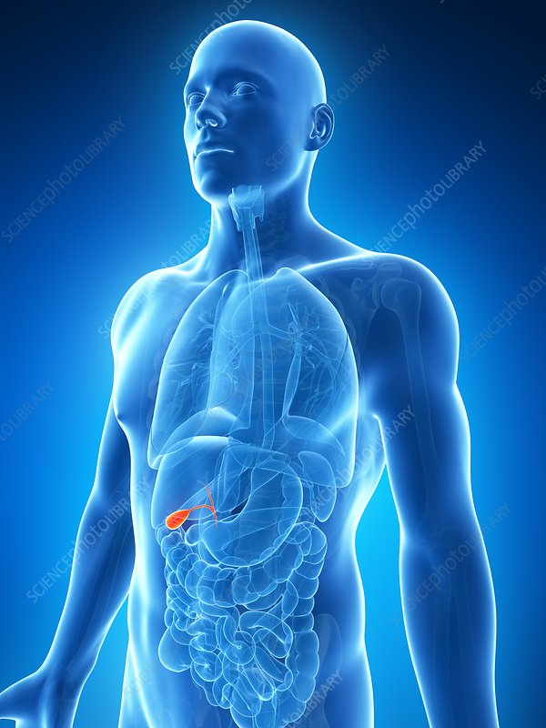 Human gallbladder, illustration