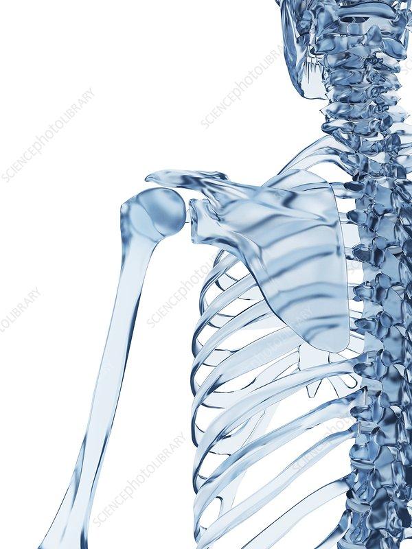 Human shoulder bones, illustration
