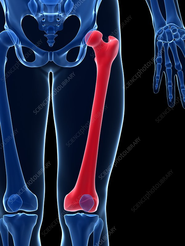 Human thigh bone, illustration