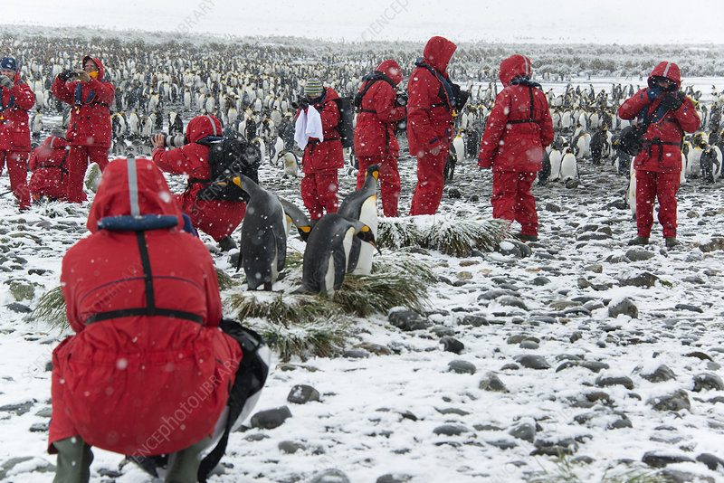 Travellers photographing king penguins