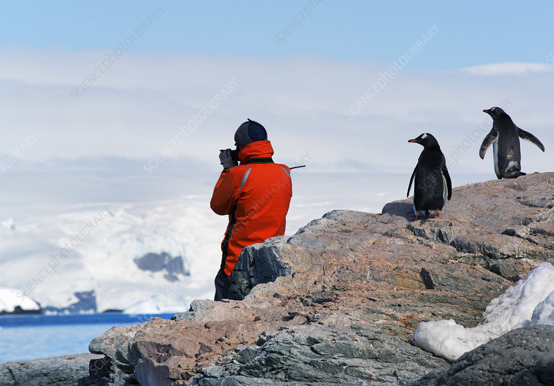 A photographer and two gentoo penguins