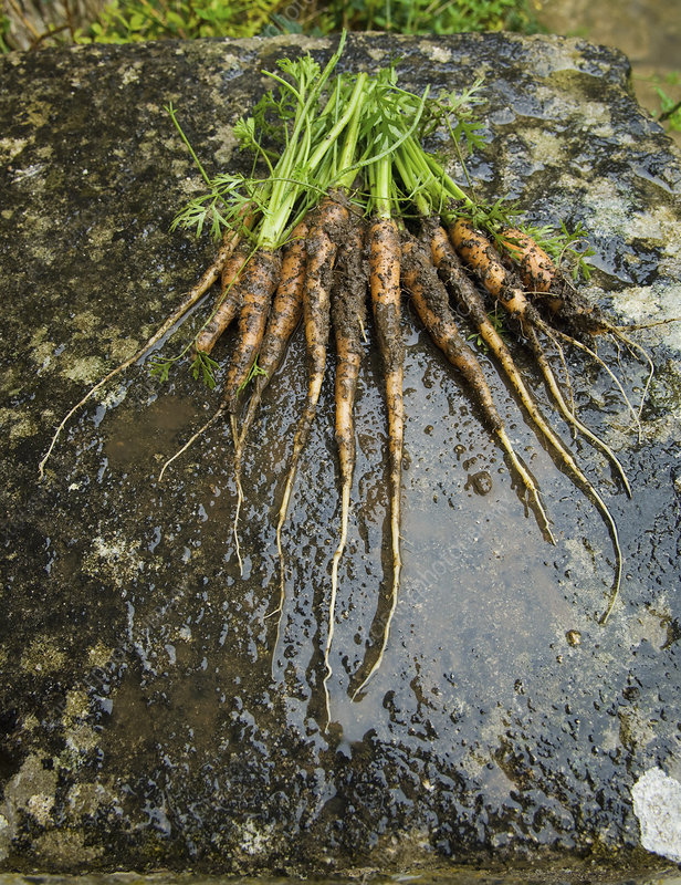 Fresh muddy carrots with green leafy tops