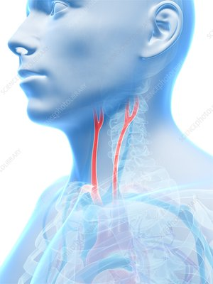 Human carotid artery, illustration