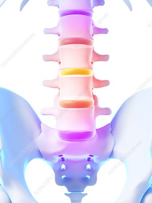 Human spinal discs, illustration