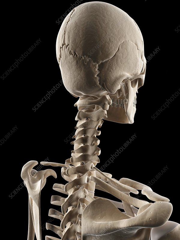 Human skull and neck bones, illustration - Stock Image F010/9288 ...