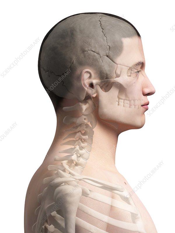 Human neck bones illustration stock image f0110365 science human neck bones illustration ccuart Gallery
