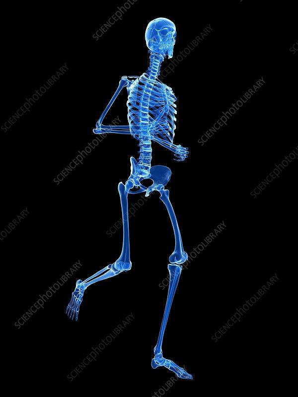 Skeletal system of runner, illustration