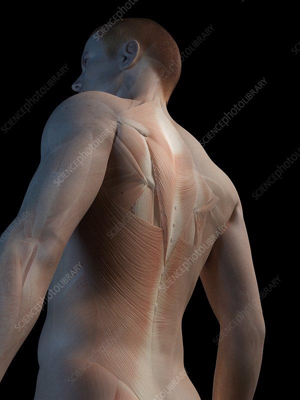 Human back muscles, illustration