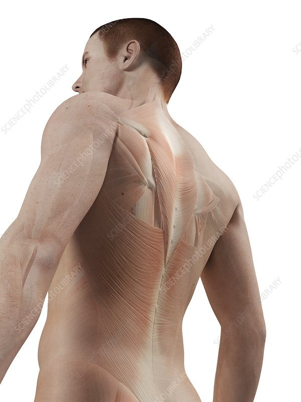 Human back muscles, illustration