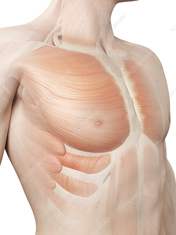Human chest muscles, illustration