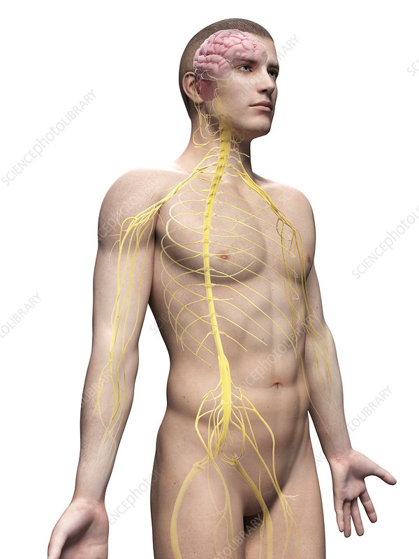 Human nervous system, illustration