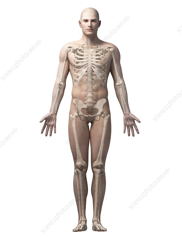 Male skeletal system, illustration