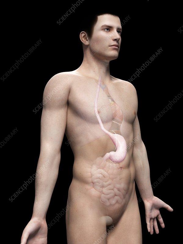 Male stomach, illustration