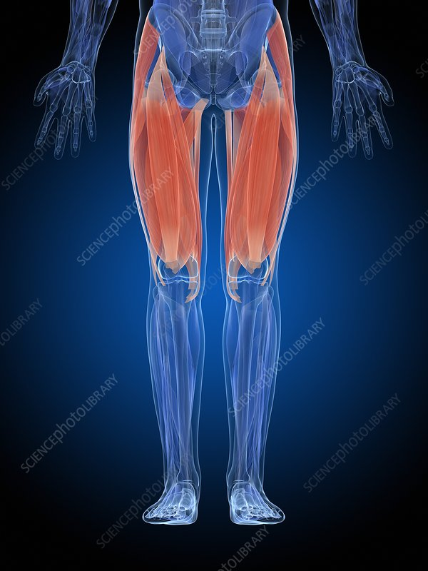 Human thigh muscles, illustration