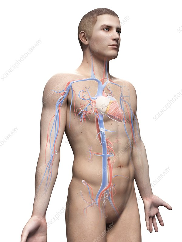 Male cardiovascular system, illustration