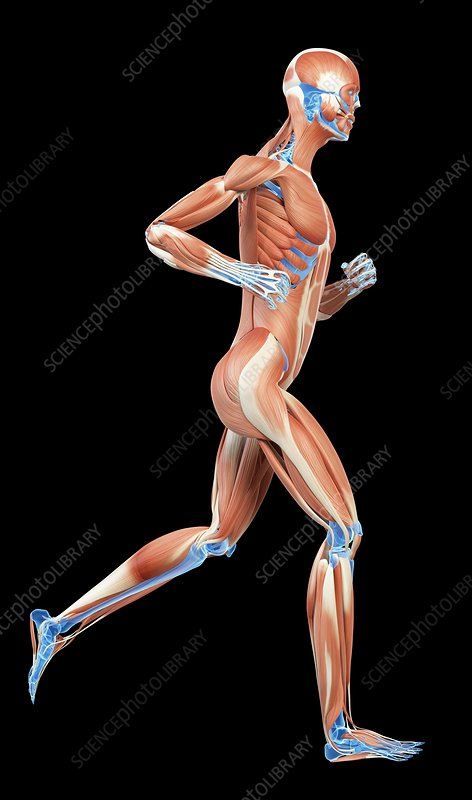 Muscular system of jogger, illustration