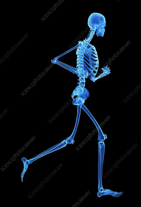 Skeletal system of jogger, illustration