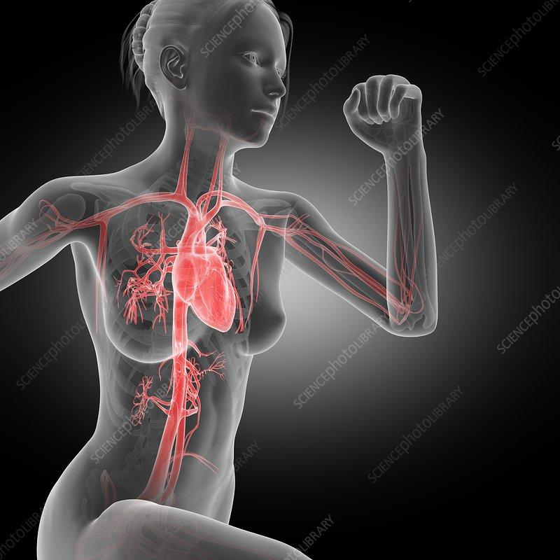 Vascular system of jogger, illustration