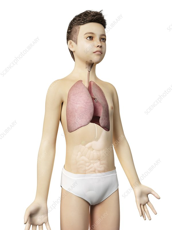 Lungs of a boy, illustration