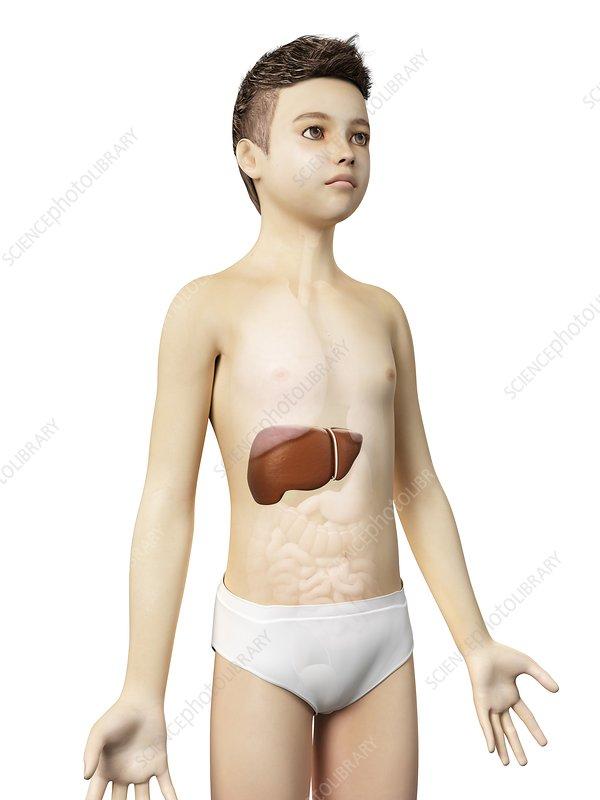 Liver of a boy, illustration