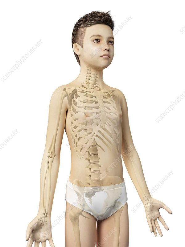Skeletal system of a boy, illustration