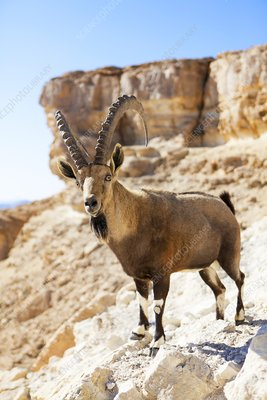 Male Nubian Ibex