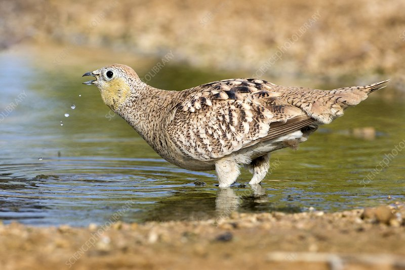 Crowned Sandgrouse Pterocles coronatus