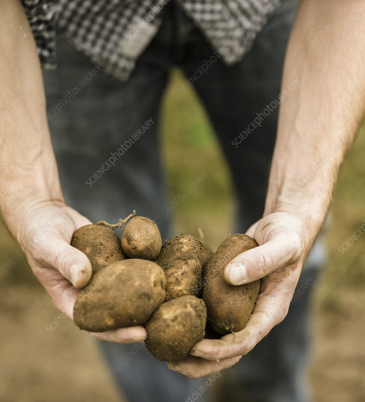Man holding freshly picked potatoes