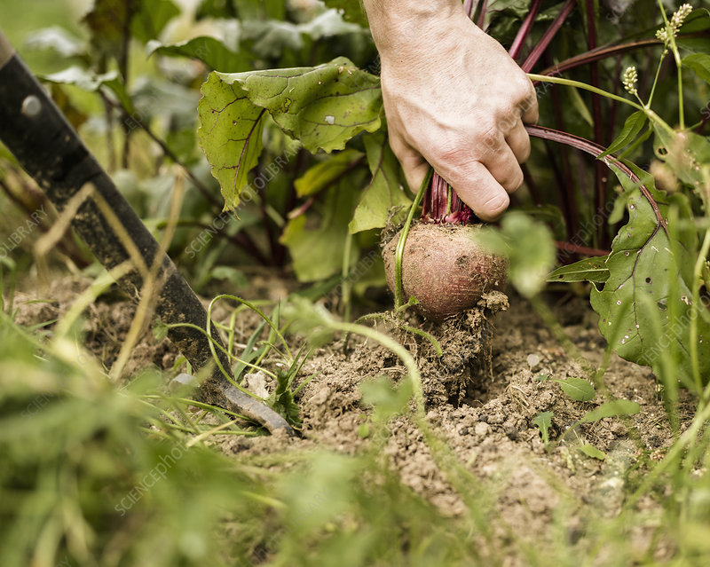 Hand pulling up beetroot plant