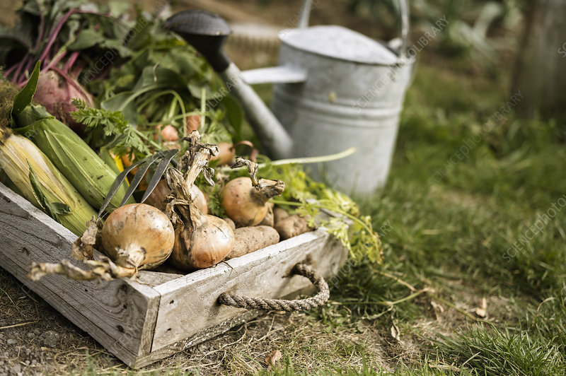 Watering can and crate of fresh produce