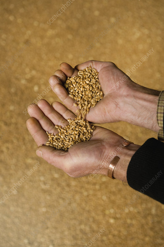 Man's hands full of wheat kernels