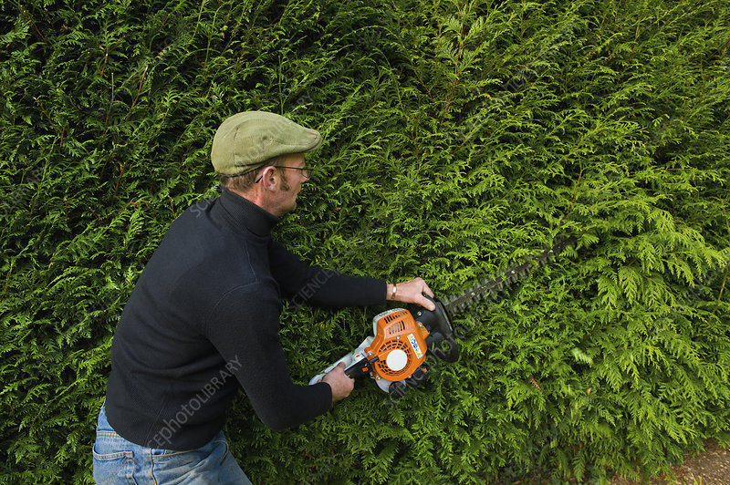 Man trimming a thick green hedge