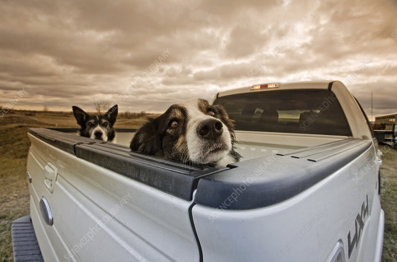 Two dogs in back of a pick-up truck