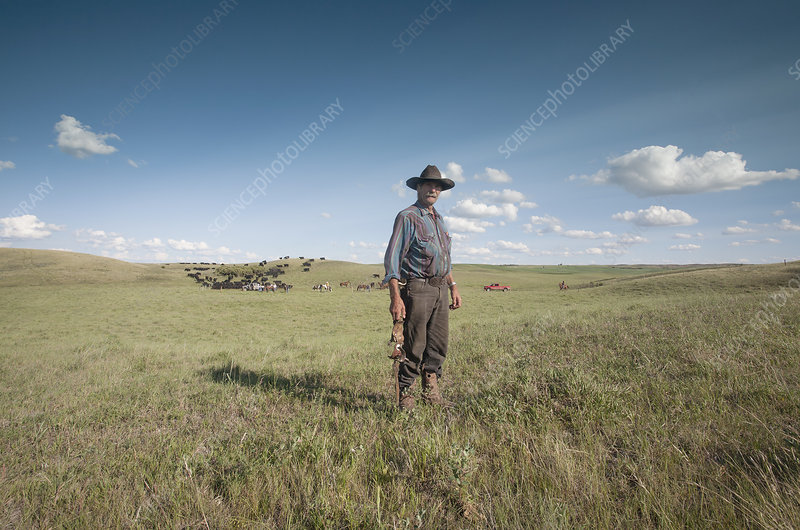 Working cowboy with cattle