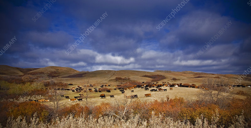 Large herd of cattle on open grassland