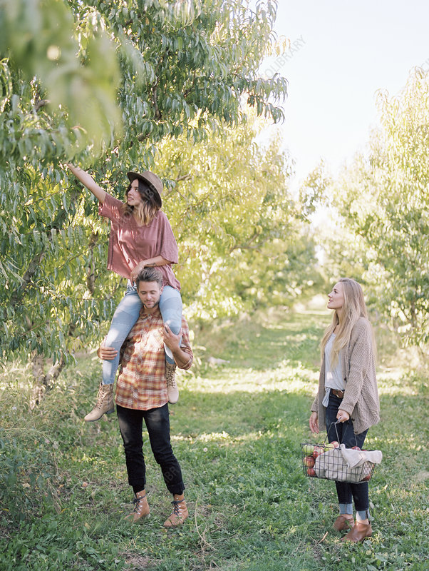 Three people picking apples from a tree