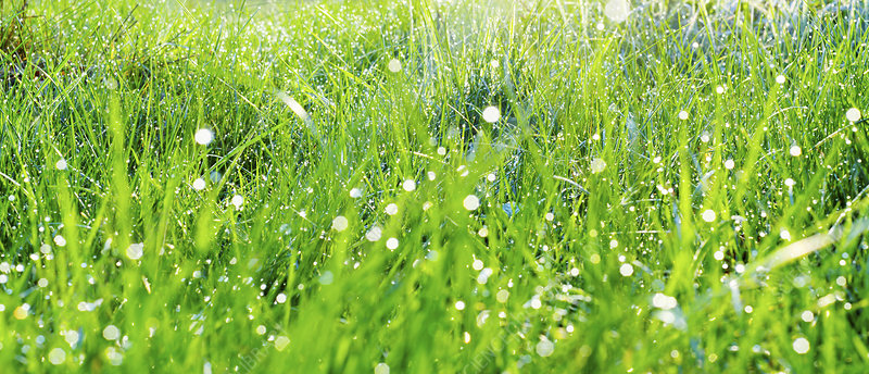 Dew drops on fresh grass