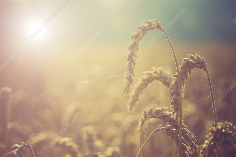 Wheat growing in the sunlight