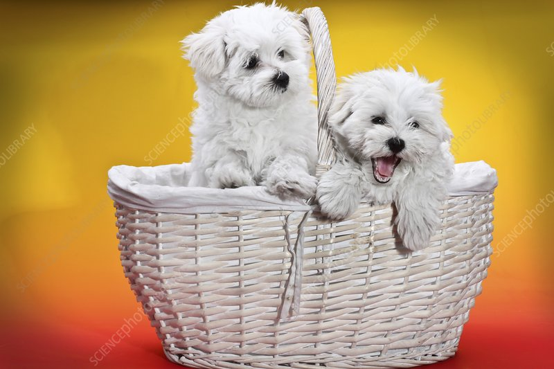 Two cute white puppies in basket