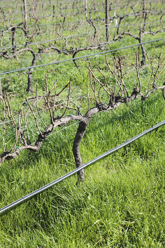 Vines and irrigation