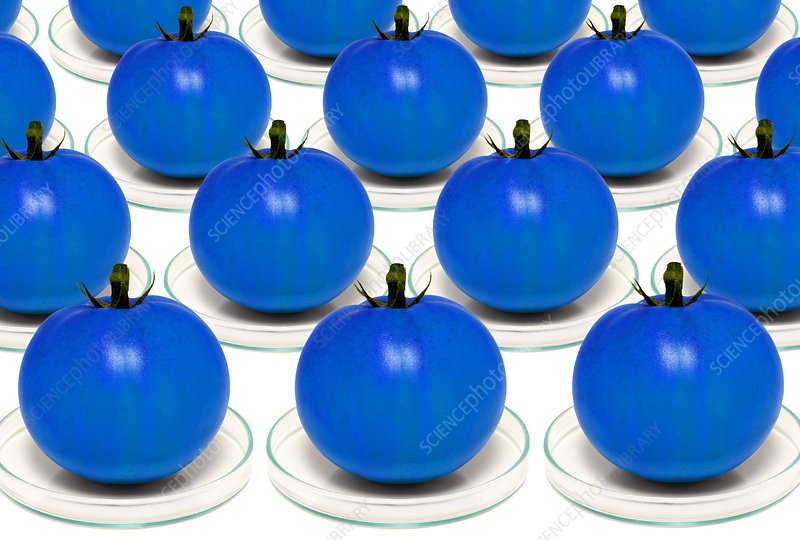 Blue tomatoes on petri dishes