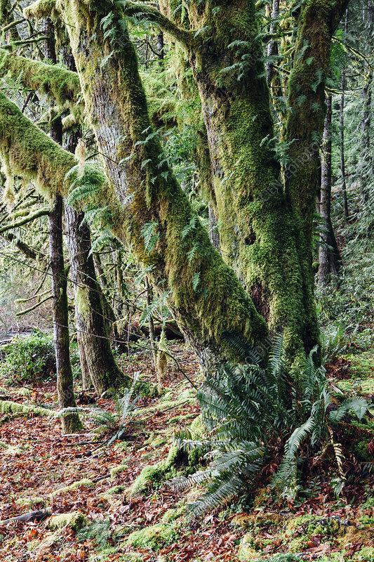 Mature trees with lichen rainforest
