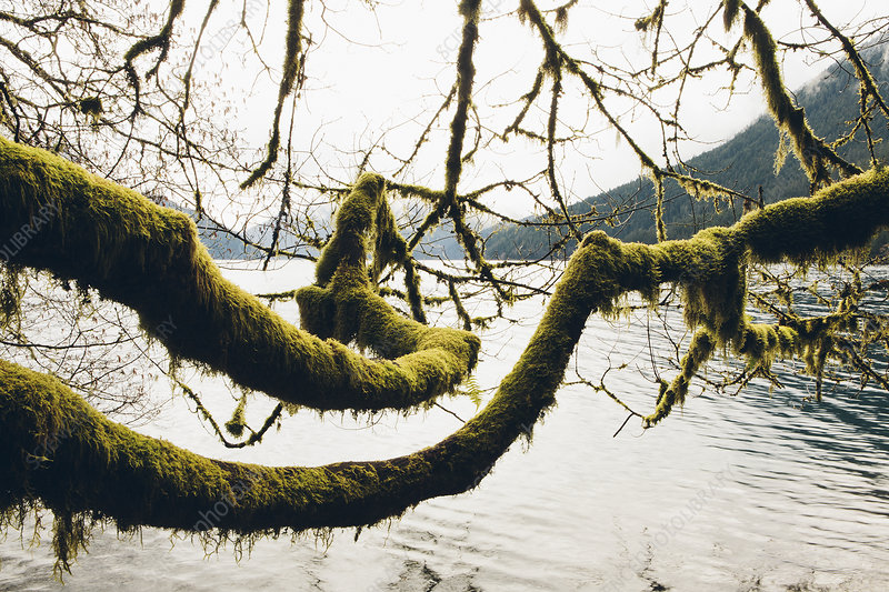 Moss covered alder tree branches