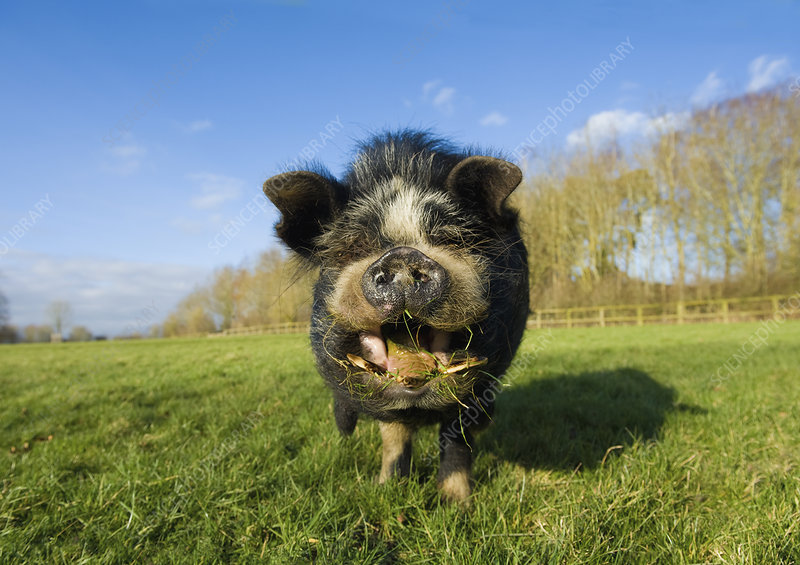 A Vietnamese pot bellied pig in a field