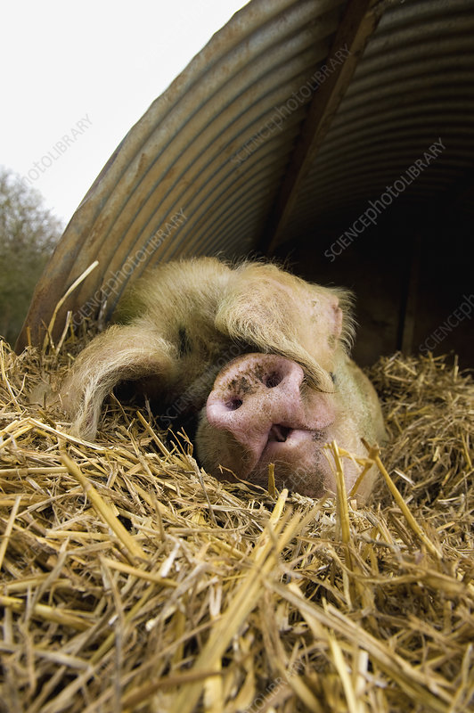 A large pig lying under a pig ark shelter